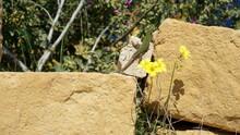 A Maltese Wall Lizard Near Wied Il-Ghasri, Gozo Island, Malta, March
