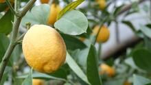 Close Up View Of Ripe Lemon On A Branch Lemon Tree. Harvest Ripe Juicy Lemons On A Tree In A Lemonaria Greenhouse. Ripening Fruit In The Garden.