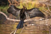 Cormorant In Botswana