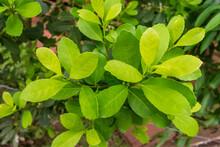 Leaves Of The Yerba Mate (Ilex Paraguariensis) Plant In Puerto Iguazu, Argentina