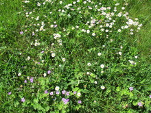 Unmown Meadow With Daisies, Blue Cranesbill, Clover, Grass And Dandelion