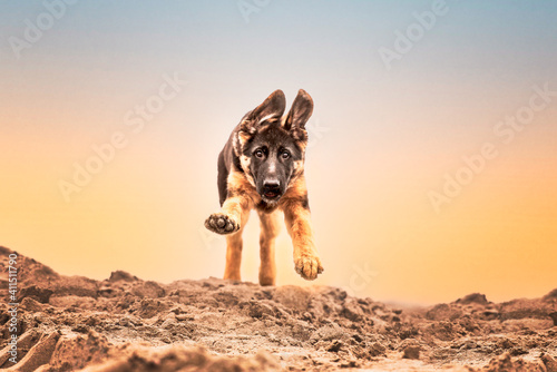 Obraz na plátně German shepherd puppy running at the beach with goofy ears, dog in action, happy