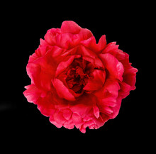 Pink Peony Flower On Black Background, Macro Photo