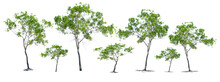 Tree Isolated On White Background. Eucalyptus Trees Are Planted In Arid Areas On A White Background. With Clipping Path For Easy Usage In Design Projects.