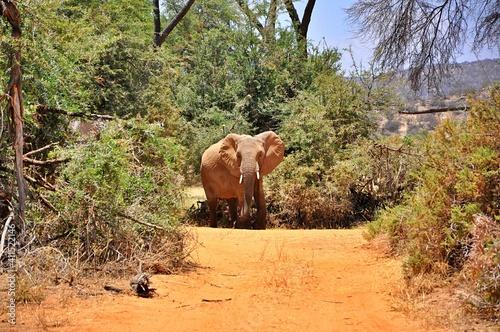 Słoń afrykański (Loxodonta africana) w buszu - samiec. Rezerwat Samburu (Kenia)