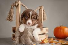 Australian Shepherd Puppy Red