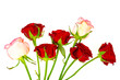 Dark red roses isolated on white background.