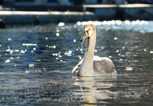 One White Swan Swims In The Water Near The Embankment Of The Old City. Warm Sunlight.