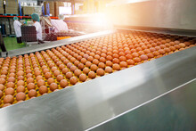 Fresh And Raw Chicken Eggs On A Conveyor Belt, Being Moved To The Packing. Consumerism, Egg Production, Automated Business, Organic Farming Concept. Food Production, Organic Farming