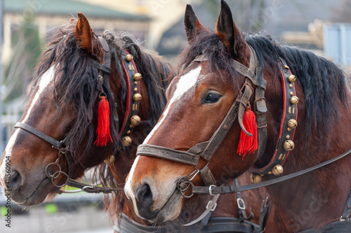 Tablou Canvas A pair of horses in a harness with bells.