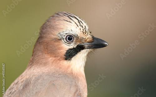 Fotografie, Obraz Eurasian jay bird ( Garrulus glandarius )