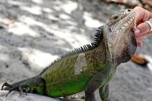 Cropped Hand Touching Iguana