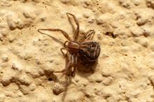 Close-up Of An European Garden Spider (Araneus Diadematus) Crawling On A Wall. Selective Focus.
