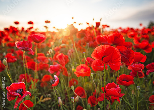 Obraz Nice colorful poppy field in spring - fototapety do salonu