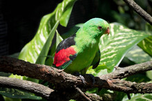 Red-winged Parrot On Tree Limb