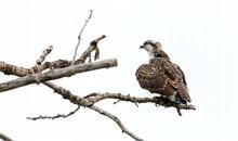 Juvenile Osprey In Tree
