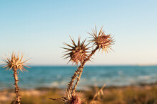 A Closeup Of Dry Thistles In Ayia Napa Coast In Cyprus, Wild Artichoke, Blue Sky And Sea Blurred Background