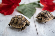 Close-up Of Two Young Hermann Turtles On White Wooden Background With A Red Hibiscus Flower And Leave. Selective Focus With Shallow Deep Of Field.