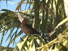 A Female Great-tailed Grackle Perched In A Palm Tree In The Mojave Desert, Parker Dam Area, San Bernardino County, California.