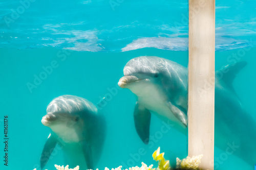 Obraz na plátně two bottlenose dolphins in an aquarium pool seen through the glass