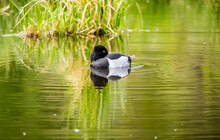 Drake Male Ring Necked Duck In Pond