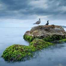 Seagull And Cormorant On Mossy Rock, Seagull And Cormorant In The Sea