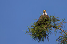 American Bald Eagle Perch In Evergreen Tree Top