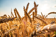 Close-up Of Wheat On Field Against Sky