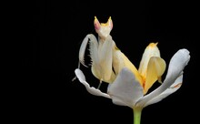 Close-up Of Praying Mantis On Flower Against Black Background