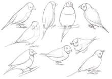 Drawing Bird, Gouldian Finch