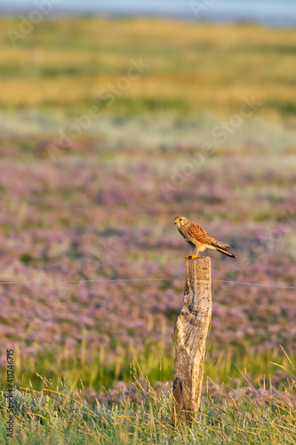 Common kestrel (Falco tinnunculus) sitting on a fence post at the salt marshes on the East Frisian island Juist, Germany. © DirkR