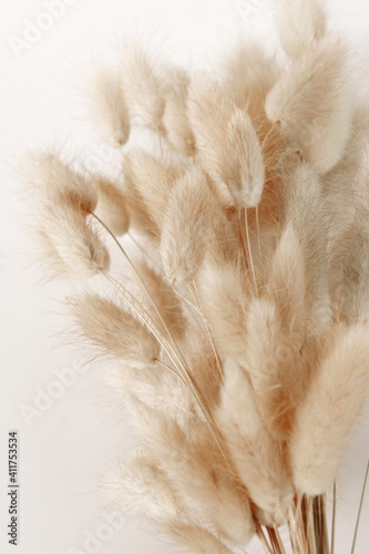 Fototapeta Dry fluffy bunny tails grass Lagurus Ovatus flowers on white background