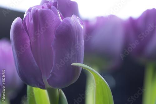 Obraz purple  tulip - fototapety do salonu