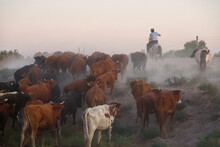 Shepherds Drive A Herd Of Cows Along A Dusty Road At Sunset