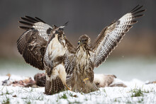 Two Common Buzzards Buteo Buteo Fighting With Spreaded Wings In Snow Over Food