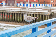 Large Gull Of The Family Larus Marinus On The Blue Wooden Railings Of The Pier Near The Sea