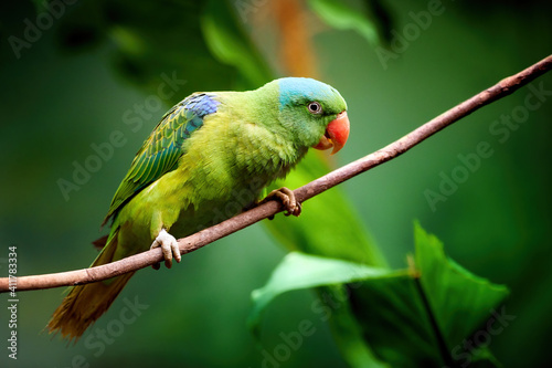 Fotografia, Obraz Blue-naped parrot, Tanygnathus lucionensis, colorful parrot, native to Philippines
