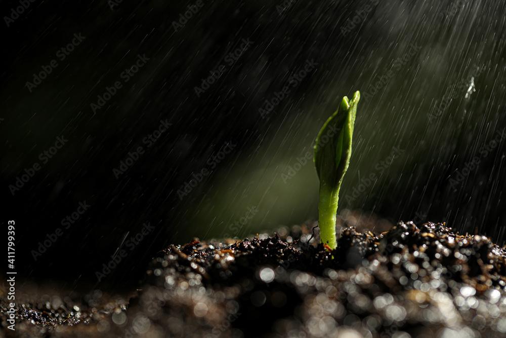 Fototapeta Sprinkling water on green seedling growing in soil, closeup