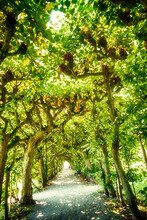 Beautiful Alley Like A Green Tunnel Of Lime Trees, Fresh In Summertime With Sunbeam Patterns In The Shade, Dachau Castle Park - Bavaria, Germany