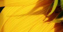 Banner Close Up Of Wet Orange Sunflower Petals, Sunflower Blooming In Field, Stamens On A Sunflower