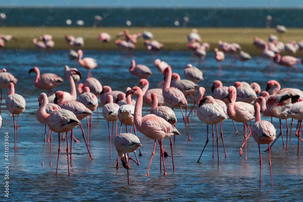 Fototapeta Flamingo colony in Walvis Bay in Namibia