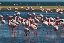Flamingo Colony In Walvis Bay In Namibia