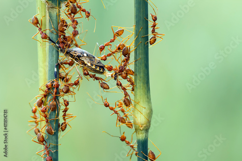 Fotografia, Obraz Red ants colony at work