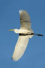American Great Egret, Ardea Alba Egretta