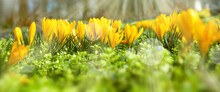 Yellow Blooming Crocuss In Sunny Spring. Seasonal Background With Light Bokeh And Short Depth Of Field. Close-up With Space For Text.