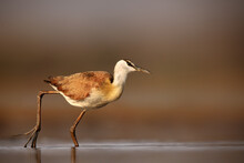 The African Jacana (Actophilornis Africanus) In The Shallow Lagoon. The African Jacana, A Bird With Long Toes On A Brown Background.