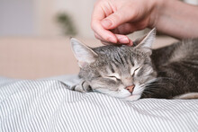 The Gray Striped Cat Lies In Bed On The Bed With Woman's Hand On A Gray Background. The Hostess Gently Strokes Her Cat On The Fur. The Relationship Between A Cat And A Person. World Pet Day