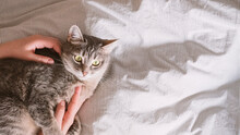 The Gray Striped Cat Lies On The Bed With Woman's Hands. The Hostess Gently Strokes Her Cat On The Fur. The Relationship Between A Cat And A Person. World Pet Day.