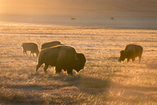 Buffaloes In A Field At Sunset