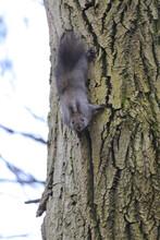 A Cute Squirrel Climbs A Tree Trunk